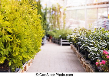 thuja trees and rhododendrons for sale in gardening store