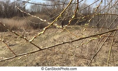 Buds on the branches of trees nature spring - Buds on...