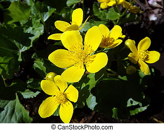 marsh marigold, yellow flower,