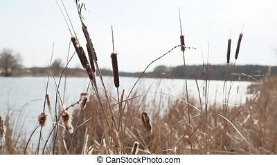 dry grass. Cattail reeds dry grass on the lake river nature...