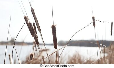 dry grass. Cattail reeds dry grass on the lake nature river...