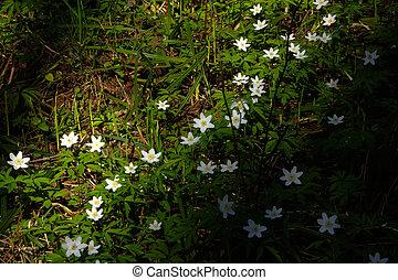 Forest flower. Anemone.