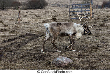 Deer in the pasture, eating the lichen. - Deer in the...