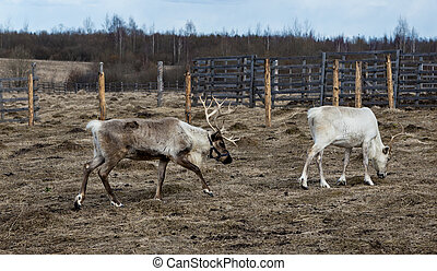 Family of reindeers in the pasture, eating the lichen. -...