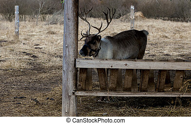 Reindeer on the farm. Deer eat from the feeders.