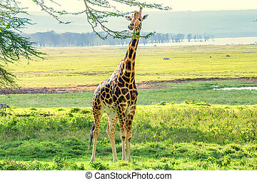 Ugandan giraffe browses in savannah - Savanna landscape with...