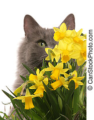 cat hiding in daffodils