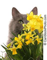 gato, escondendo, narcisos silvestres