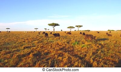 buffalo bulls gazing in savanna at africa - animal, nature...