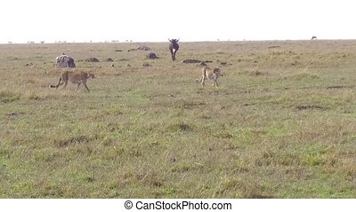 cheetahs and wildebeests in savanna at africa - animal,...