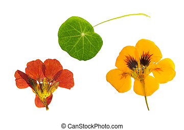 Pressed and dried brown, orange flowers nasturtium. Isolated...