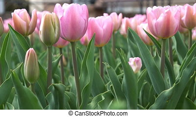 Lovely pink tulips in green foliage