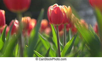 Lovely red tulips in green foliage