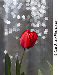 One red tulip on a blurred background with a silver bokeh