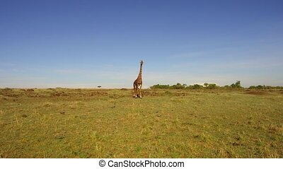 giraffe walking along savanna at africa - animal, nature and...