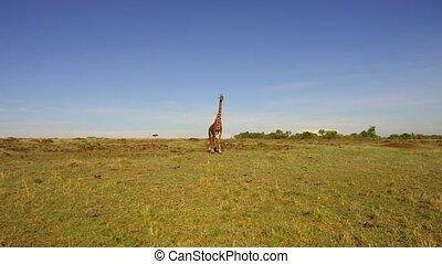 giraffe walking along savanna at africa - animal, nature and...