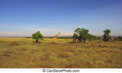 giraffes eating tree leaves in savanna at africa - animal,...