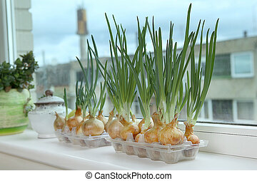 Sprouting green onions in eggs plastic package. Recycling...