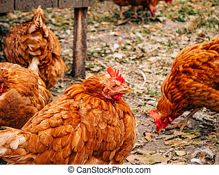 Well-groomed red hens in the village. Chickens walking on...