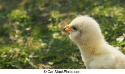 Chick on a background of green grass