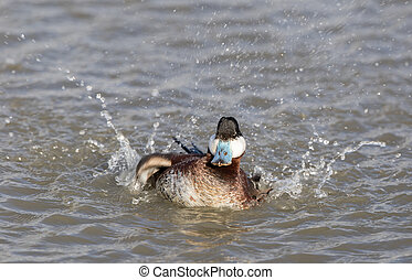 Ruddy Duck (Oxyura jamaicensis) Wading with Water Splash. -...