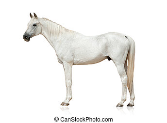 white arabian stallion standing isolated over a white...