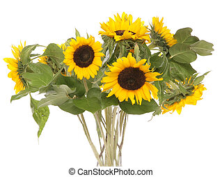 sunflowers studio cutout - sunflowers in a vase studio...