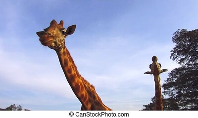 couple of giraffes in savannah at africa - animal, nature...
