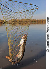 Pike fishing nets  - Northern pike caught in fishing nets