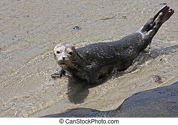 Harbor Seal - Harbor seal on the sandy beach. San Diego,...