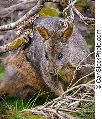 Tasmanian Pademelon under a tree (Thylogale billardierii)