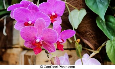 Pink orchids in the garden.