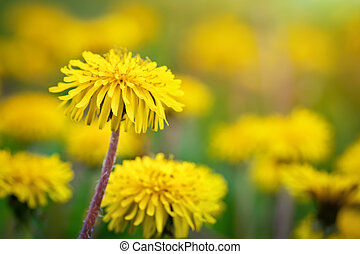 Yellow dandelions in the grass in the forest.
