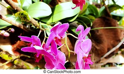 Pink orchids in the garden. Using the slider.