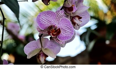 Purple orchids in the garden. - Purple orchids. Using the...