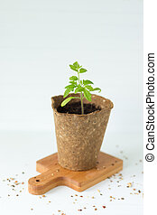Tomato seedling - Seedling tomato in a cup on a white board