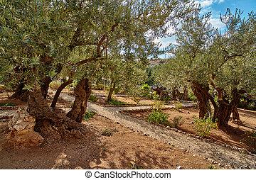 Gethsemane olive garden, Jerusalem