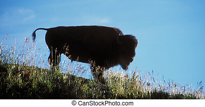 Bison Silhoette - American bison bull silhoette Yellowstone...