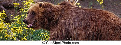 Brown Bear - Brown bear in Alaska.