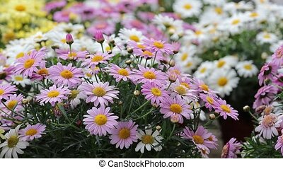 pink daisy in bloom in spring