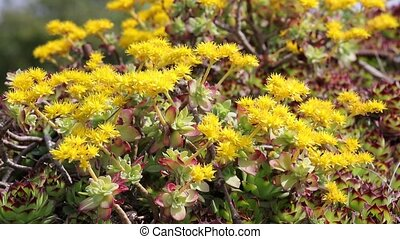 sedum in bloom on rock