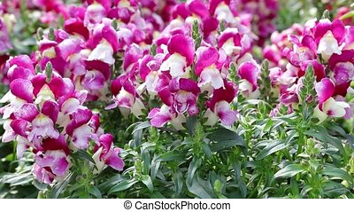 snapdragons in bloom in the garden