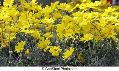 yellow daisy in bloom in spring