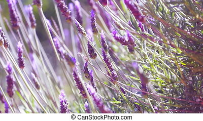 Close Up Beautiful Blooming Lavender Flowers Swaying In The...