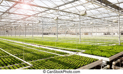 Greenhouse with cultivation - Industrial greenhouse with...
