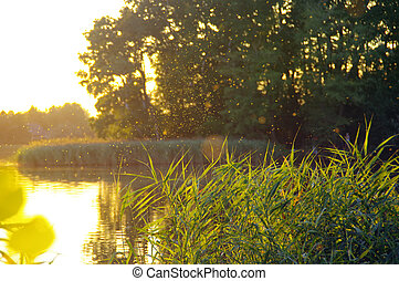 Shining insects over lake reeds during the sunset