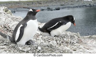 Gentoo Penguin on the nest travel to Antarctica