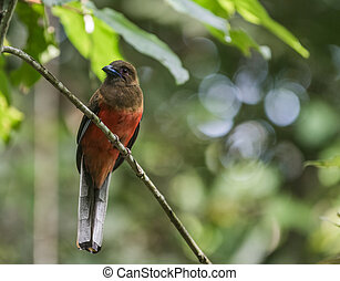 Diard's Trogon female sitting on a small branch in the...
