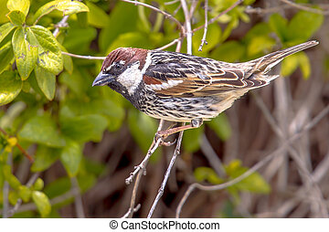 Spanish sparrow in a hedge in a garden on Cyprus - Spanish...