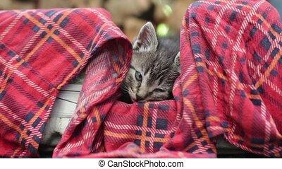 kitten is dozing - little striped kitten is dozing
